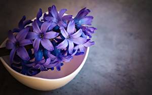 Fotos Hyazinthen Hautnah Violett Blüte