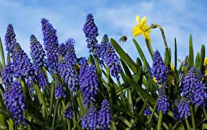 Tapety na pulpit Hiacynty Żonkile Zbliżenie Muscari Kwiaty