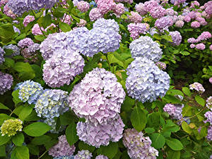 Fotos Hortensien Nahaufnahme Blumen