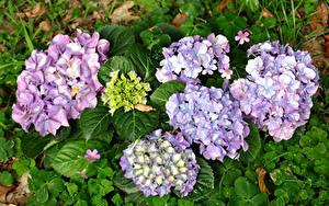 Hintergrundbilder Hortensien Hautnah Blüte