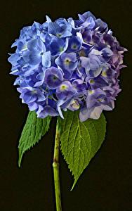 Tapety na pulpit Hortensja Z bliska Czarne tło Kwiaty