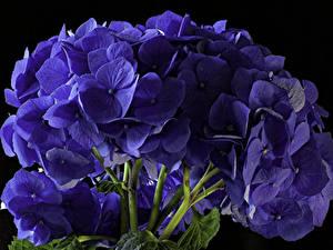 Pictures Hydrangea Closeup Black background Blue Flowers