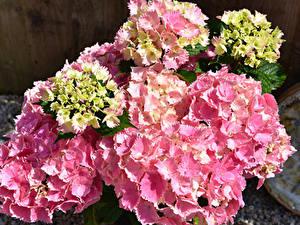 Hintergrundbilder Hortensien Hautnah Rosa Farbe Blüte