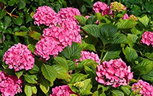 Hintergrundbilder Hortensie Großansicht Rosa Farbe Blattwerk Blumen