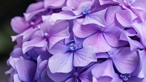 Papel de Parede Desktop Hydrangea De perto Violeta cor flor