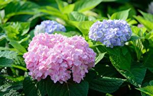 Bilder Hortensie Rosa Farbe Violett Blüte