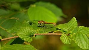 Hintergrundbilder Insekten Libellen Ast Blattwerk Unscharfer Hintergrund ein Tier