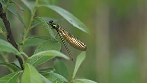 Desktop hintergrundbilder Insekten Libellen Unscharfer Hintergrund Blattwerk Calopteryx virgo ein Tier