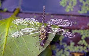 Fonds d'écran Insectes Libellules En gros plan Bokeh un animal