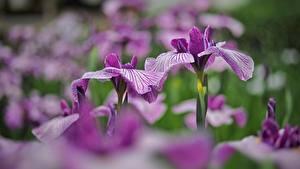Hintergrundbilder Schwertlilien Unscharfer Hintergrund Violett Blüte