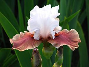 Hintergrundbilder Schwertlilien Großansicht Blumen
