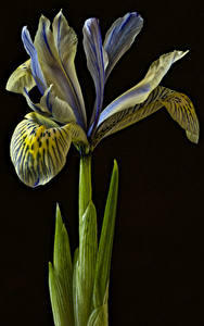 Pictures Irises Closeup Black background flower