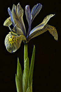 Papel de Parede Desktop Iris De perto Fundo preto flor