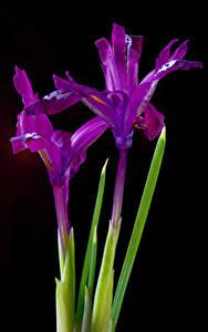 Wallpaper Irises Closeup Black background Violet Two flower
