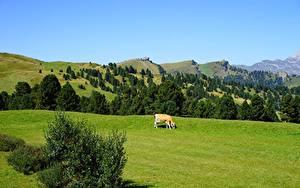 Fotos Italien Grünland Kühe Hügel Passo Sella, Dolomites