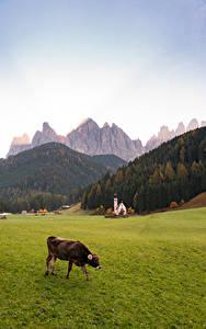 Hintergrundbilder Italien Berg Kirchengebäude Kühe Gras Alpen Dolomites, Santa Maddalena Natur