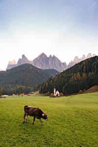 Hintergrundbilder Italien Berg Kirchengebäude Kühe Gras Alpen Dolomites, Santa Maddalena