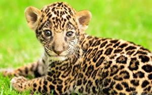 Fotos Jaguaren Jungtiere Blick