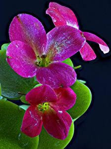 Bilder Kalanchoe Großansicht Schwarzer Hintergrund Blumen