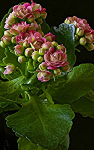 Wallpaper Kalanchoe Closeup Black background Flower-bud Flowers