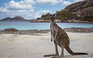 Hintergrundbilder Kängurus Strände Western Australia, Cape Le Grand National Park, Kangaroo Tiere