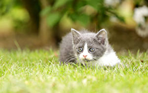 Hintergrundbilder Katzenjunges Gras Blick Bokeh