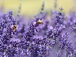 Desktop hintergrundbilder Lavendel Bienen Insekten Unscharfer Hintergrund Natur
