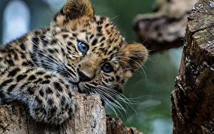 Hintergrundbilder Leopard Jungtiere Starren