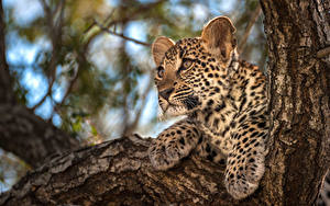 Fotos Leopard Jungtiere Pfote Starren