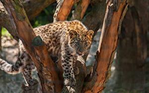 Hintergrundbilder Leopard Jungtiere Baumstamm