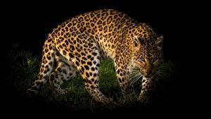Hintergrundbilder Leoparden Starren ein Tier