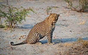 Fotos Leopard Sitzend Blick ein Tier