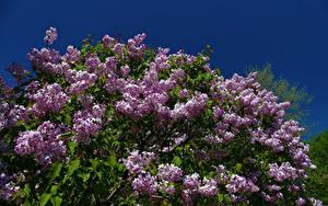 Fotos Flieder Ast Blumen