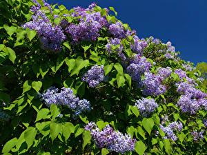 Hintergrundbilder Flieder Ast Blattwerk Blumen