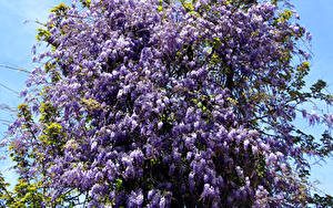 Picture Lilac Branches Violet Flowers