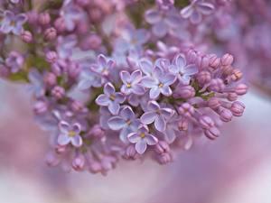 Bakgrundsbilder på skrivbordet Syringa Närbild Blomblad Suddig bakgrund blomma