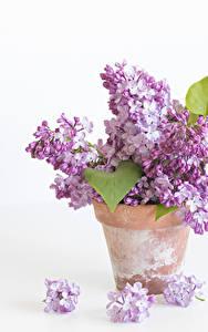 Bilder Syringa Großansicht Weißer hintergrund Blumentopf Blumen