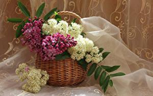 Bilder Syringa Weidenkorb Ast Blumen