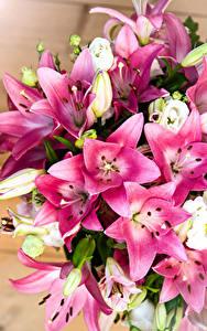 Fotos Lilien Großansicht Blumen