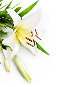 Fotos Lilien Weißer hintergrund Weiß Blütenknospe Blüte