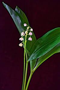 Bilder Maiglöckchen Farbigen hintergrund Blumen
