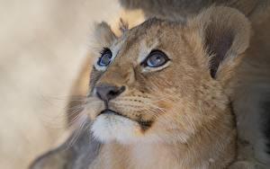 Hintergrundbilder Löwe Katze Jungtiere