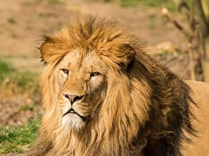 Images Lion Closeup Head Staring animal