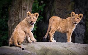 Hintergrundbilder Löwe Jungtiere