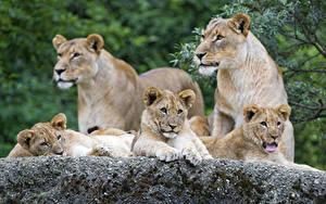 Fotos Löwe Jungtiere Löwin