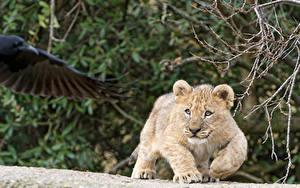 Hintergrundbilder Löwe Jungtiere ©Tambako The Jaguar