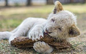 Hintergrundbilder Löwe Jungtiere Große Katze Weiß