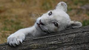 Fotos Löwe Jungtiere Starren Schnauze Weiß