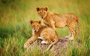 Hintergrundbilder Löwe Jungtiere Gras Zwei