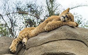 Fotos Löwe Jungtiere Schlaf
